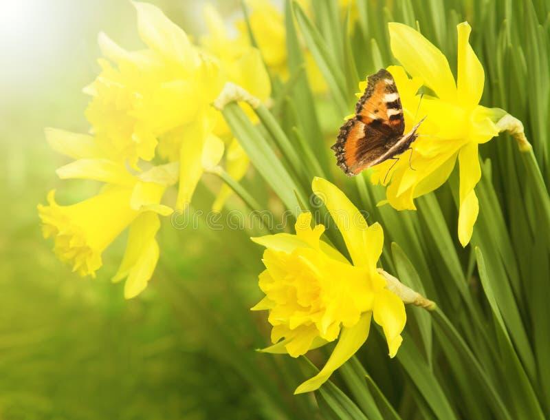 Daffodils de florescência O urticaria da borboleta senta-se em uma flor imagens de stock royalty free
