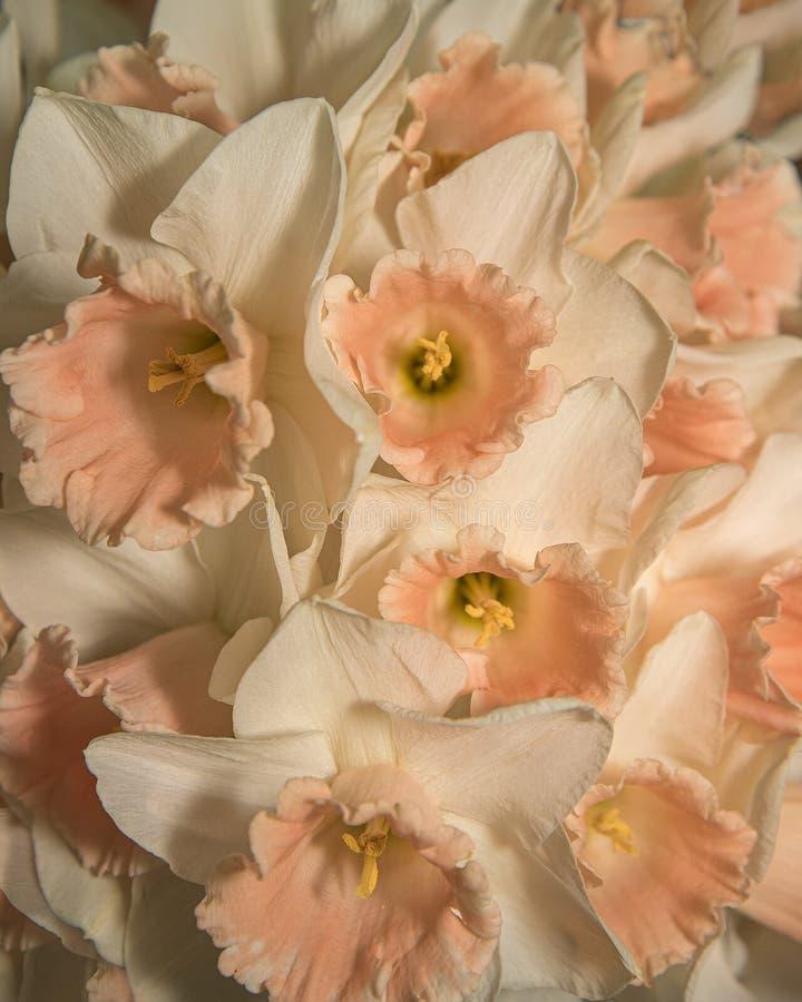 Daffodils de primavera frescos são leves e brilhantes Arranjo da Flor Narciso Rosa fotografia de stock royalty free