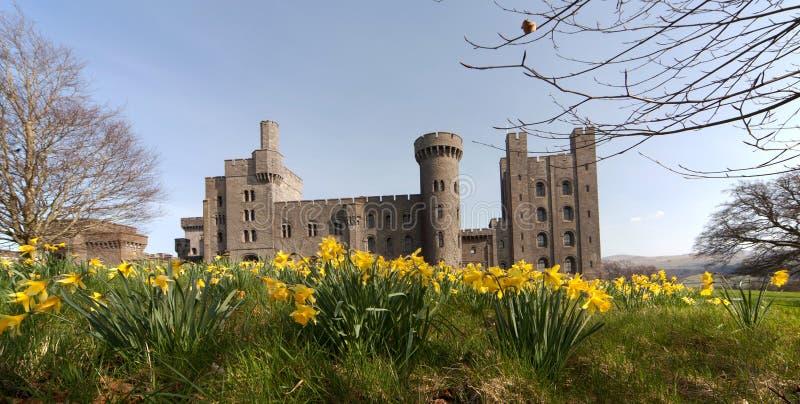 Daffodils del castello di Penryhn fotografia stock libera da diritti