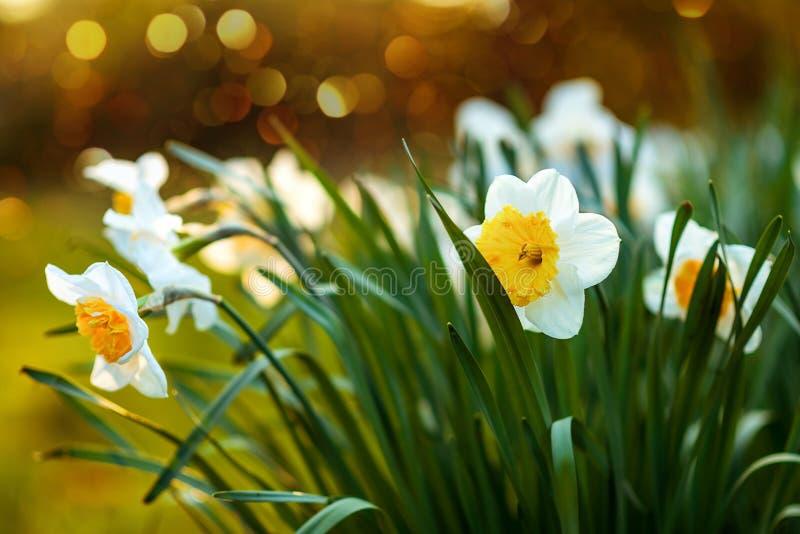 daffodils enkel Geregend open plek met gele narcissen royalty-vrije stock fotografie