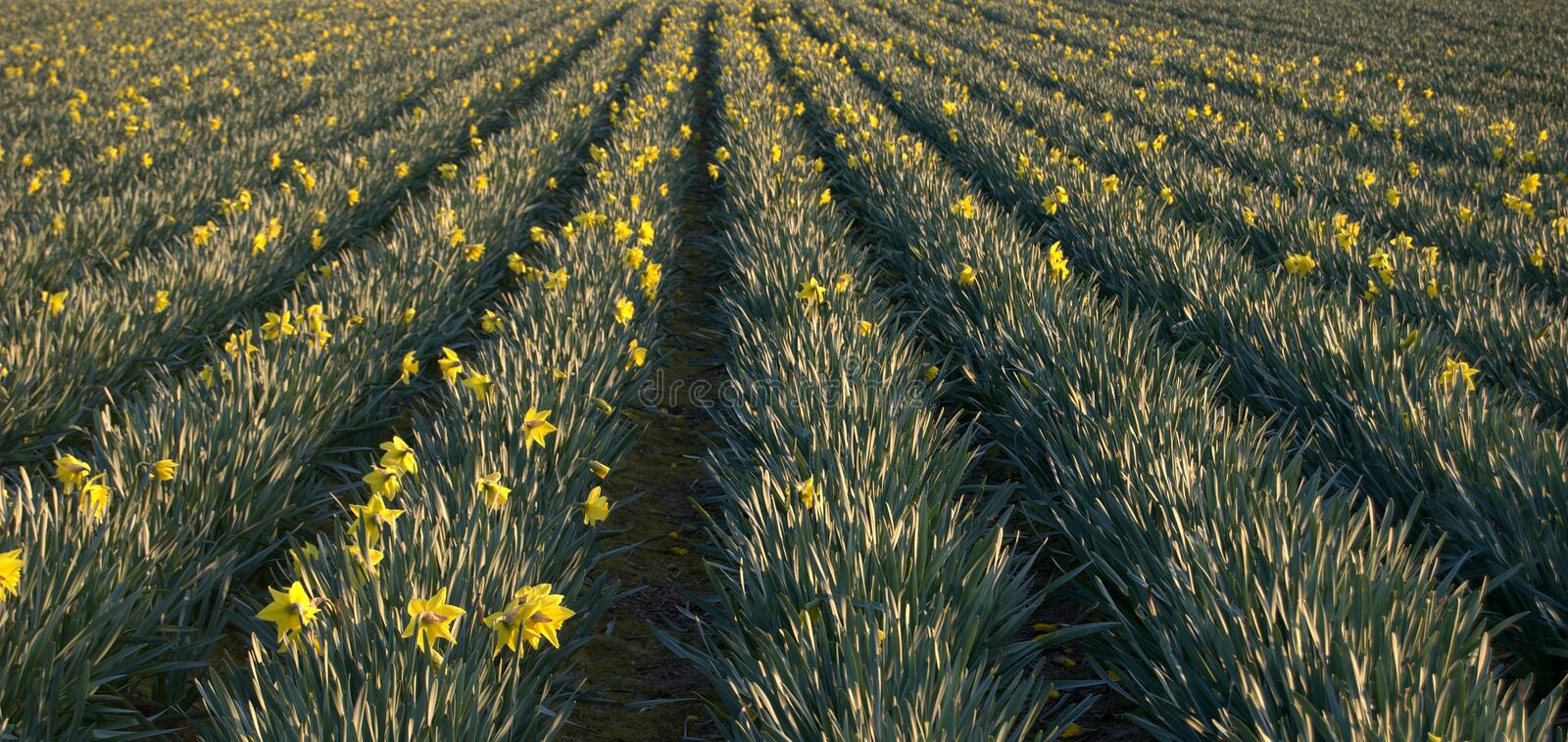 Download Daffodils field stock photo. Image of green, background - 13440878