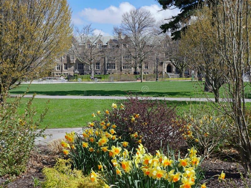 Daffodils fioriscono in primavera con edifici generici di stile gotico all'università fotografie stock libere da diritti