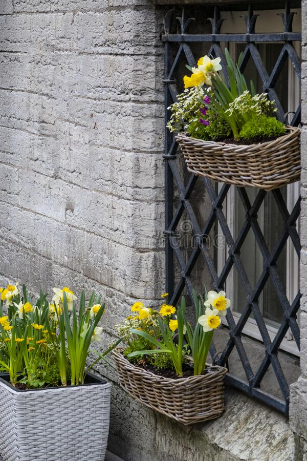 Daffodils in flower baskets royalty free stock image