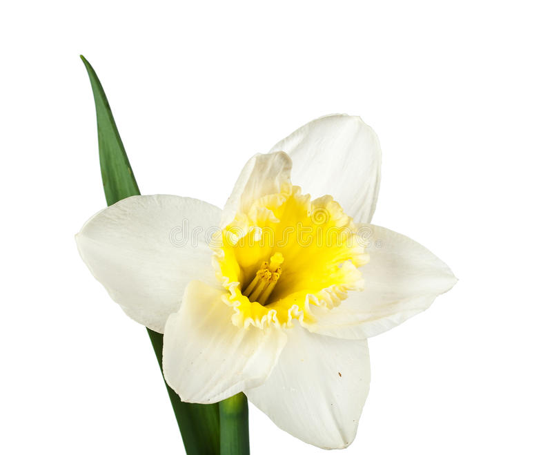 Daffodils flower. Beautiful daffodils flower isolated on white background royalty free stock photos