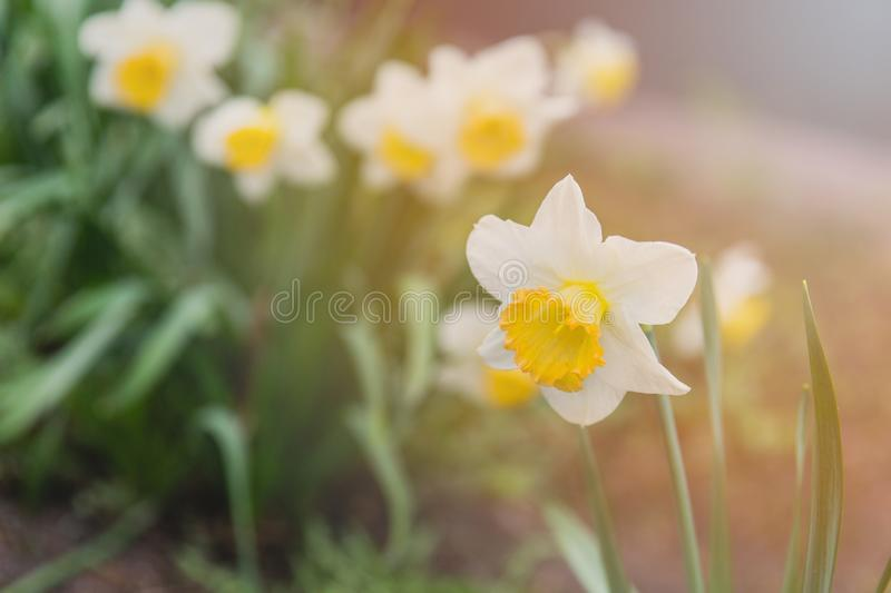 Daffodils in the flower bed under the sunlight. Flowering spring flowers in the flower bed royalty free stock photos