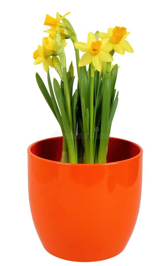 Download Daffodils Flower In Orange Flowerpot Stock Photo - Image: 25575328