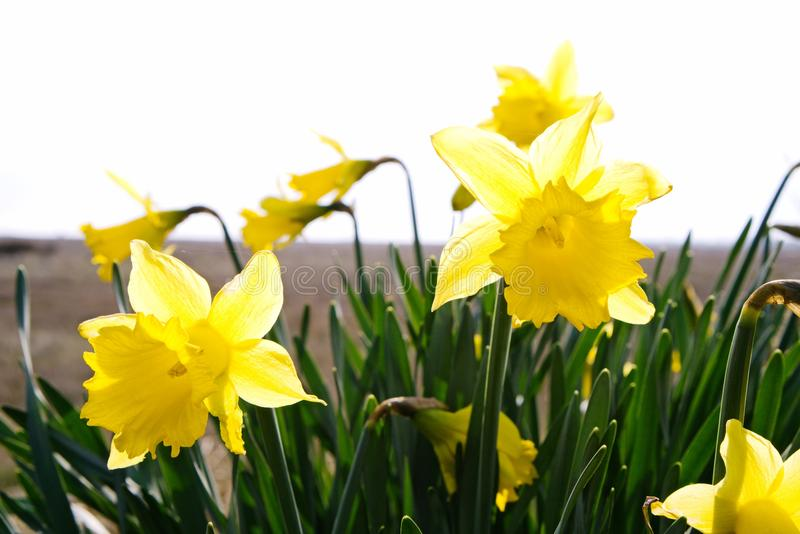 Daffodils flowering in spring.. stock photography