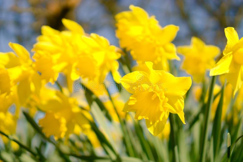 Daffodils flowering in spring.. stock image