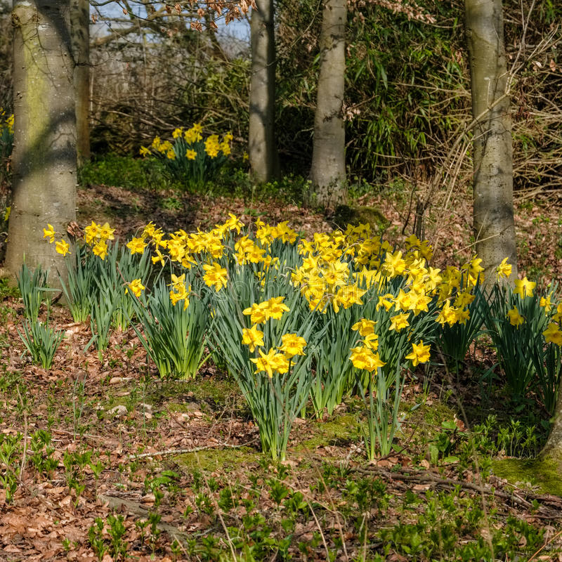 Daffodils Flowering in Spring Sunshine royalty free stock photo