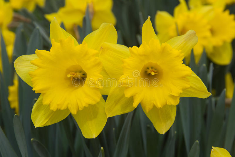 Download Daffodils Flowers Stock Photos - Image: 32094813