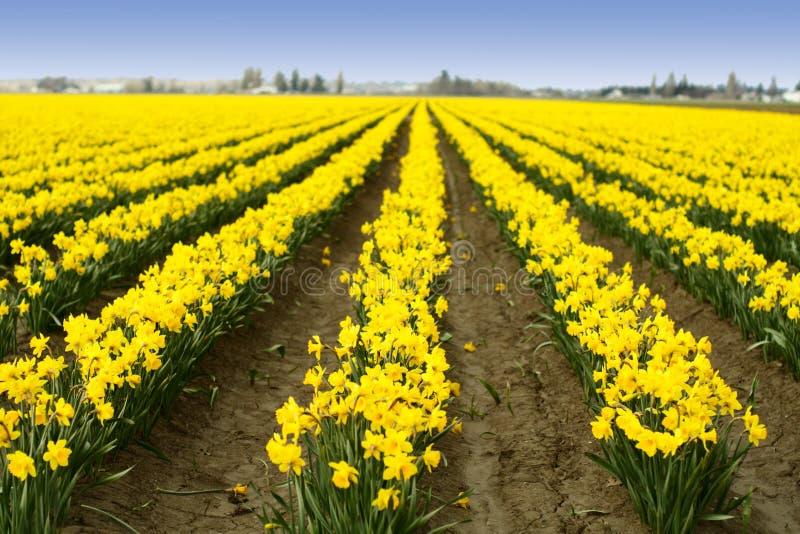 Daffodils gialli immagini stock