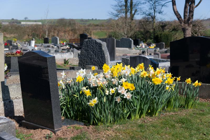 Daffodils with Grave and headstone. A bed of Dafodils planted on the grave of a beloved royalty free stock images