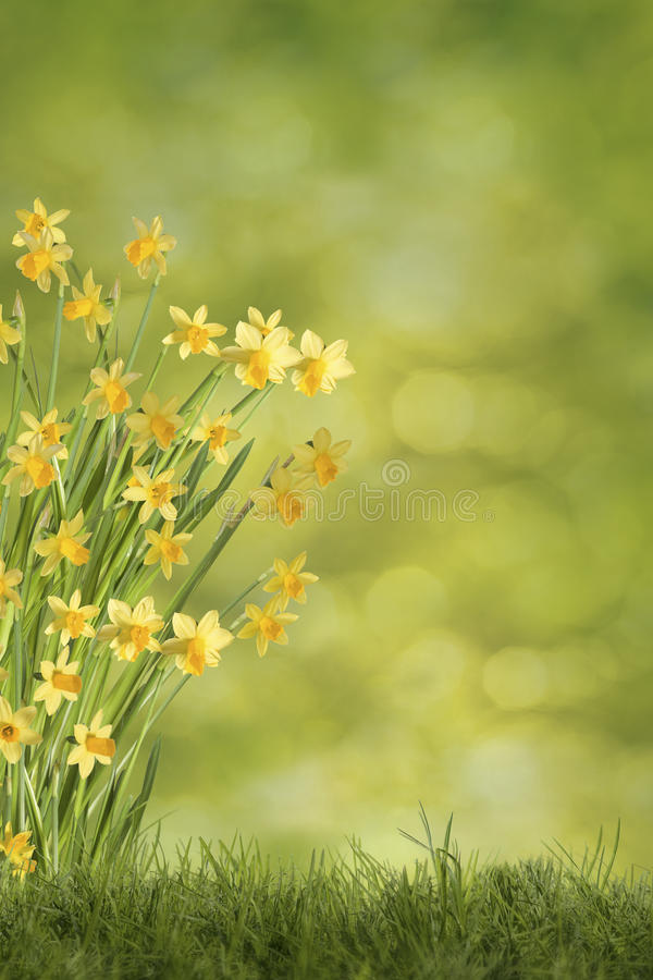 Daffodils on green meadow. Daffodils on meadow with green background royalty free stock photos