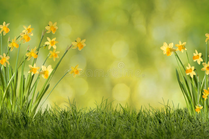 Daffodils on green meadow. Daffodils on meadow with green background stock images