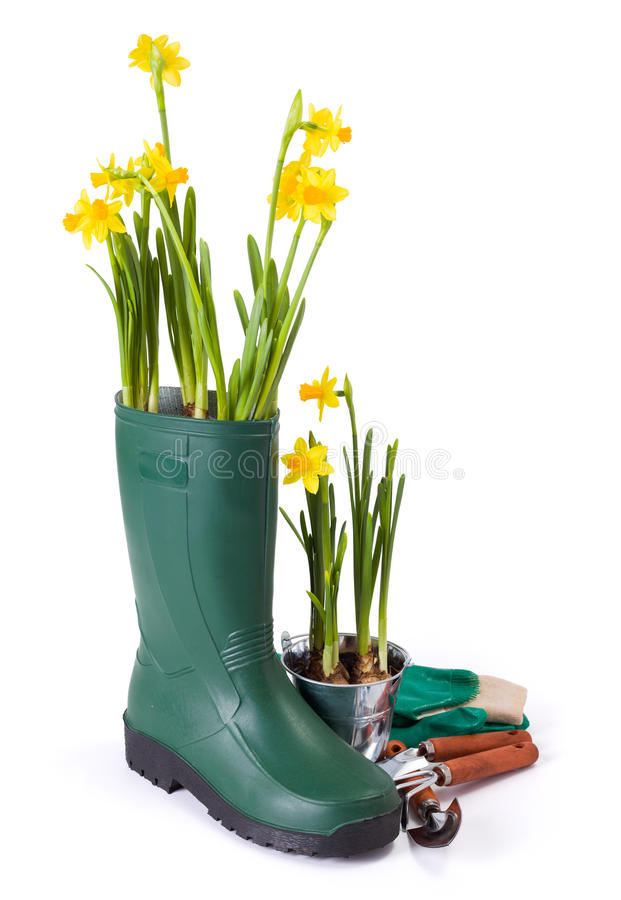 Daffodils in gum boot and gardening tools. Fresh yellow daffodils in green gum boot and small gardening tools royalty free stock photo