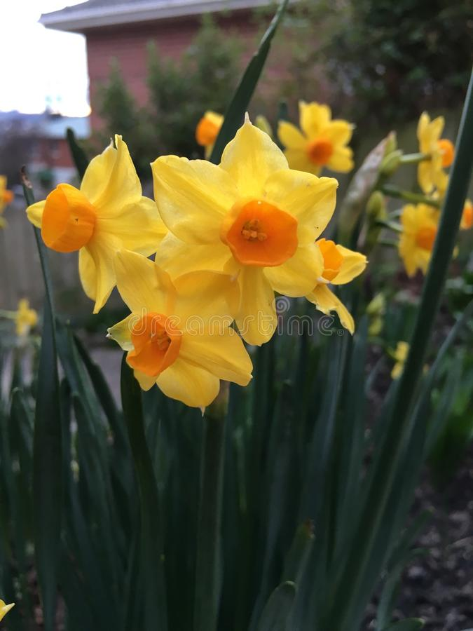 Daffodils in home garden royalty free stock photography