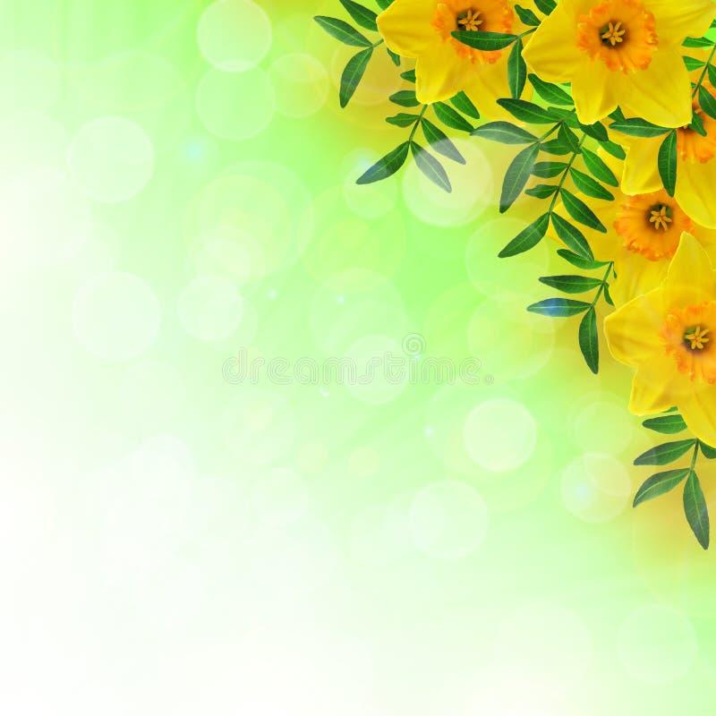 Daffodils i liście ilustracji
