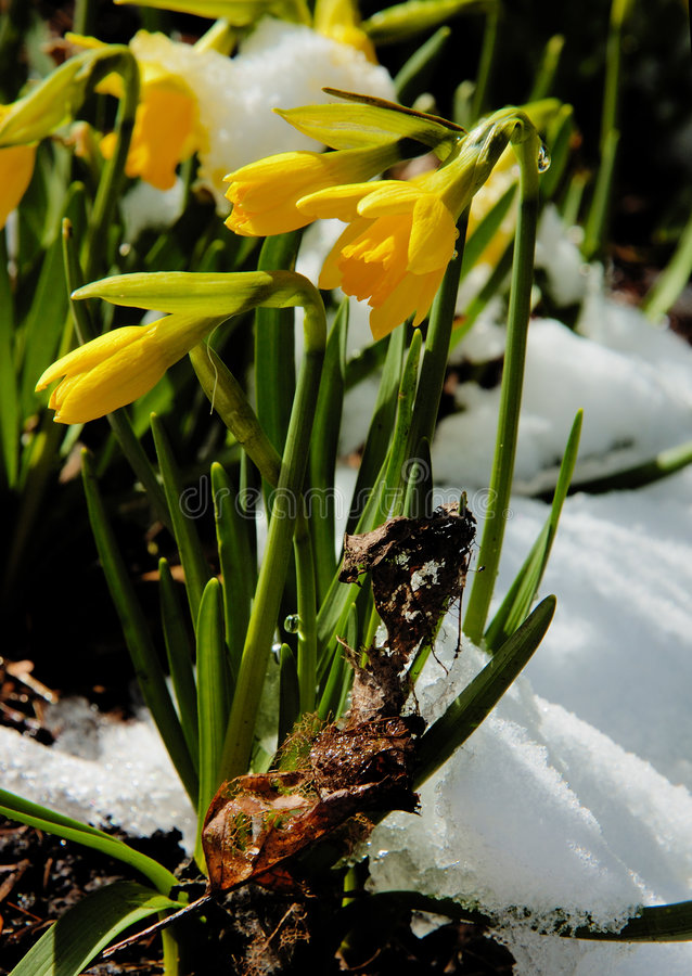 Free Daffodils In The Snow Stock Image - 8554871