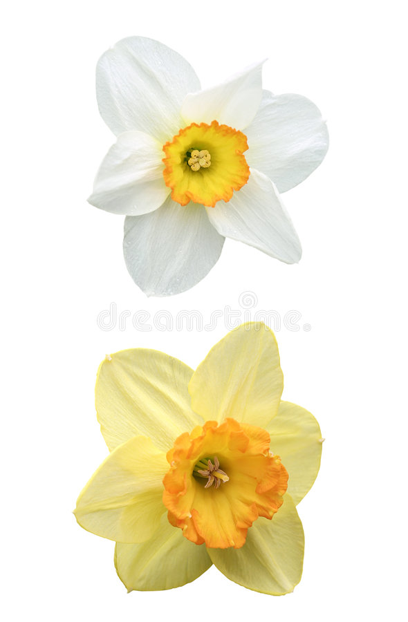 Daffodils isolated on white. Daffodil and narcissus, with dewdrops, isolated on white background stock image