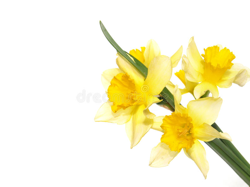 Daffodils. Isolated on white background stock photos