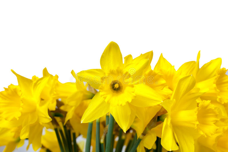 Daffodils isolated on White stock photo