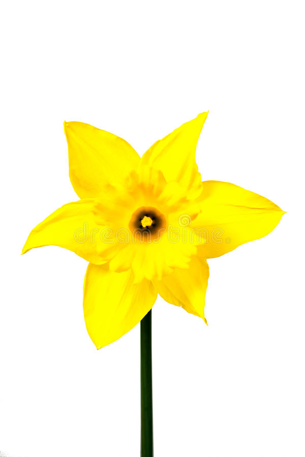 Daffodils isolated on White royalty free stock photography