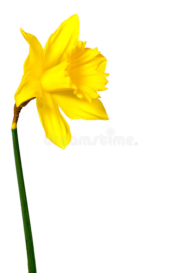 Daffodils isolated on White stock images