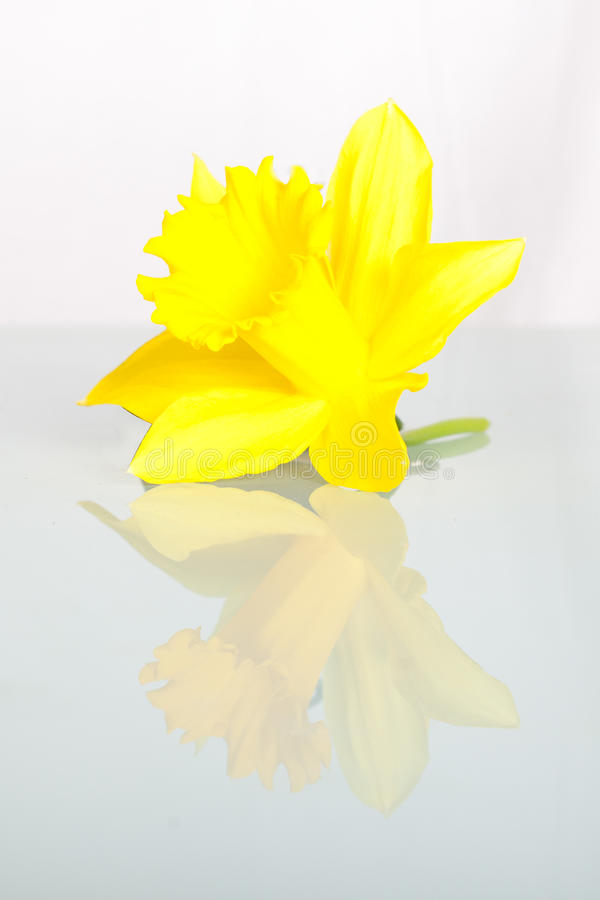 Daffodils isolated on White royalty free stock photos