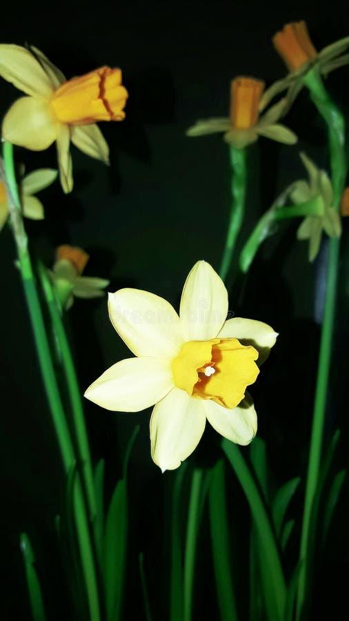 Daffodils które kwitnęli w ostatnim miesiącu zima zdjęcia royalty free