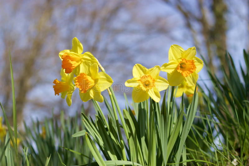 Daffodils. Lots of Daffodils in a park royalty free stock photography