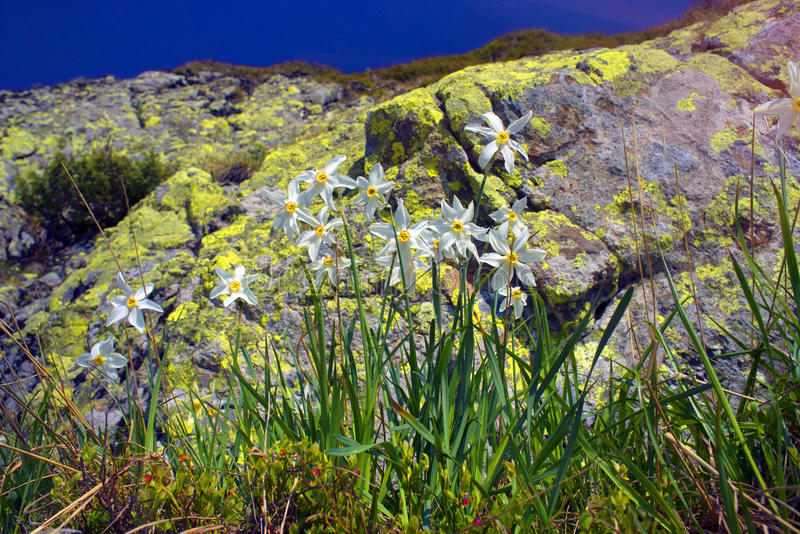 Daffodils Marmarosh. High in the mountains of the Alps Marmarosh grow rare wild daffodils, when the snow melts and becomes teplee- in June. Near a lot of stones stock photos
