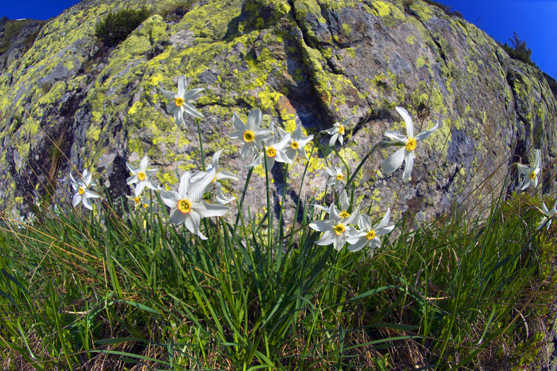 Daffodils Marmarosh. High in the mountains of the Alps Marmarosh grow rare wild daffodils, when the snow melts and becomes teplee- in June. Near a lot of stones stock photography