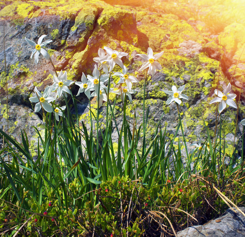 Daffodils Marmarosh. High in the mountains of the Alps Marmarosh grow rare wild daffodils, when the snow melts and becomes teplee- in June. Near a lot of stones royalty free stock photo