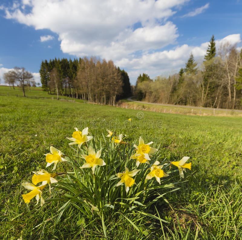 Daffodils On Meadow In The Eifel, Germany. Square shot of Daffodils on a meadow near the Vennbahnweg in the Eifel near Monschau, Germany with focus on foreground stock photos