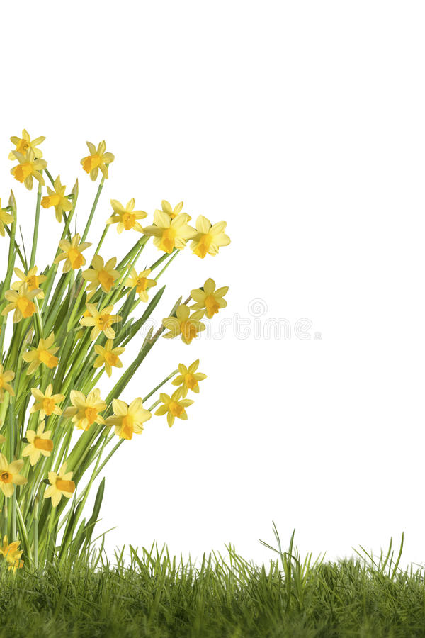 Daffodils on meadow. Daffodils on green meadow, optional on white background stock photography