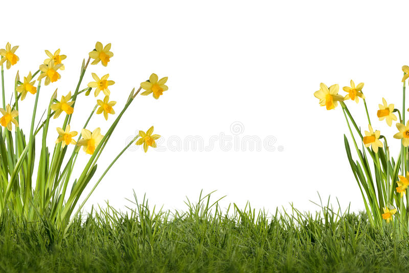 Daffodils on meadow. Daffodils on green meadow, optional on white background stock photo