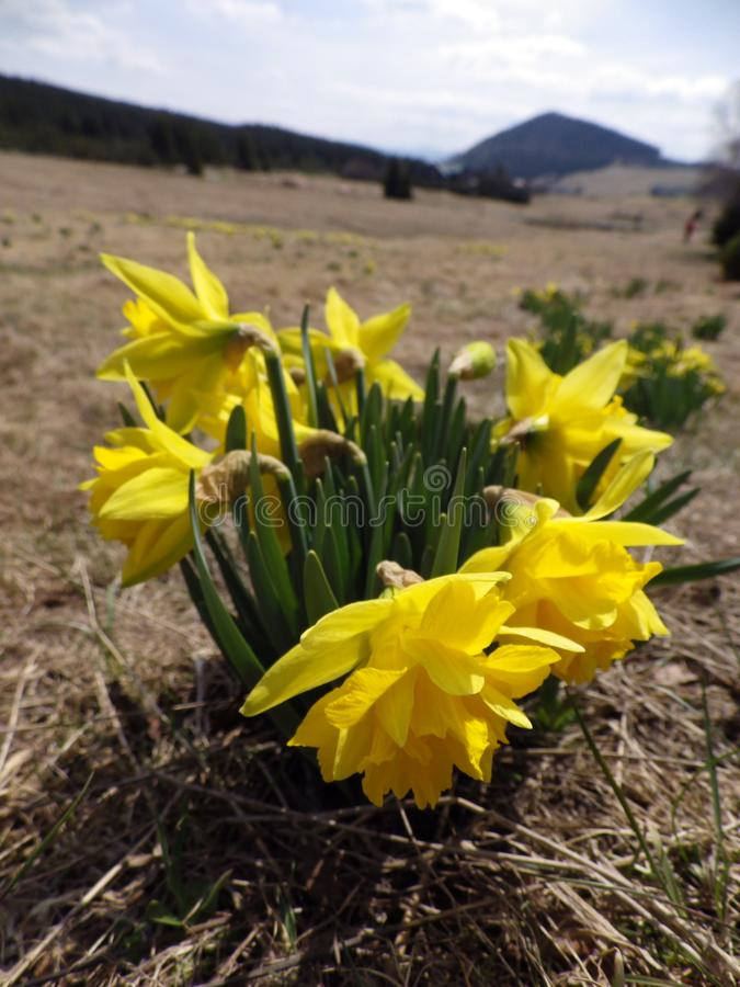 Daffodils on a meadow in Jizerka village royalty free stock images