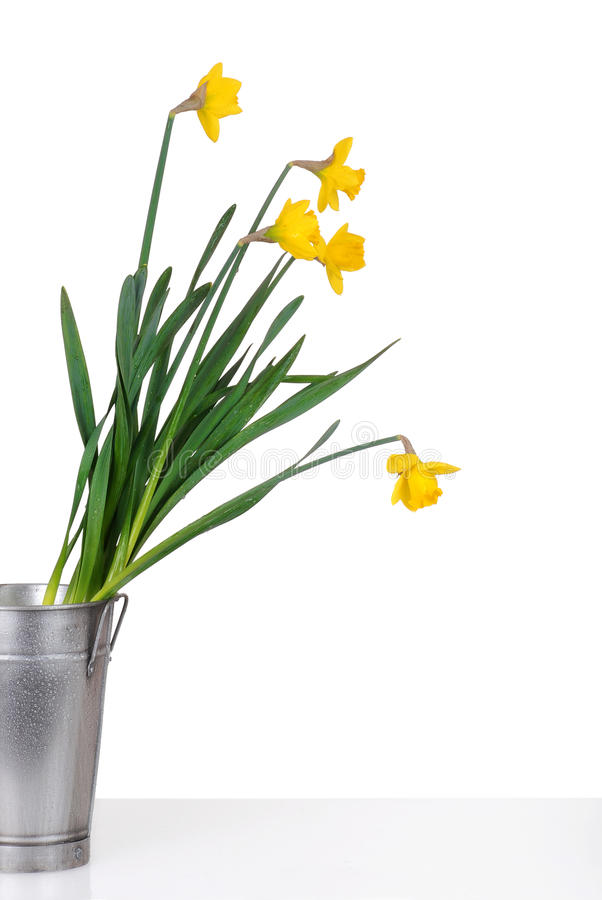 Daffodils in a metal bucket
