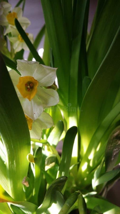 daffodils Mola imagem de stock royalty free