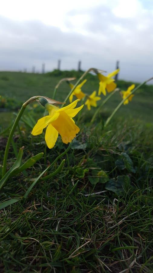 Daffodils na clifftop fotografia stock