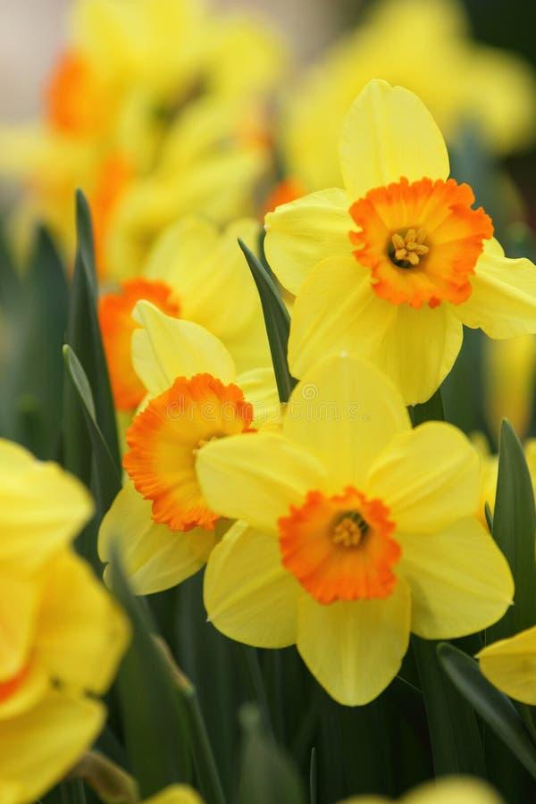 Daffodils Narcissus желтые стоковые фотографии rf