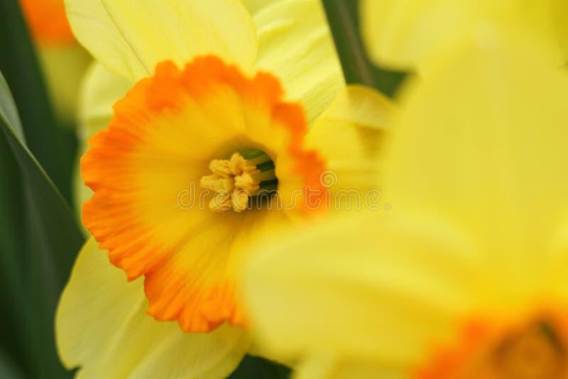 Daffodils Narcissus желтые стоковая фотография rf