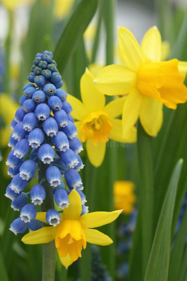 Daffodils Narcissus желтые стоковое изображение rf