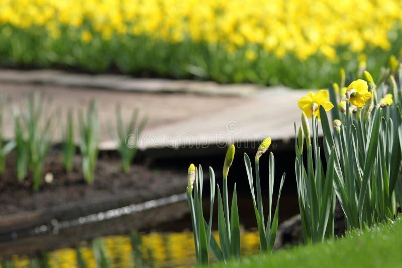 Daffodils Narcissus желтые стоковое фото rf