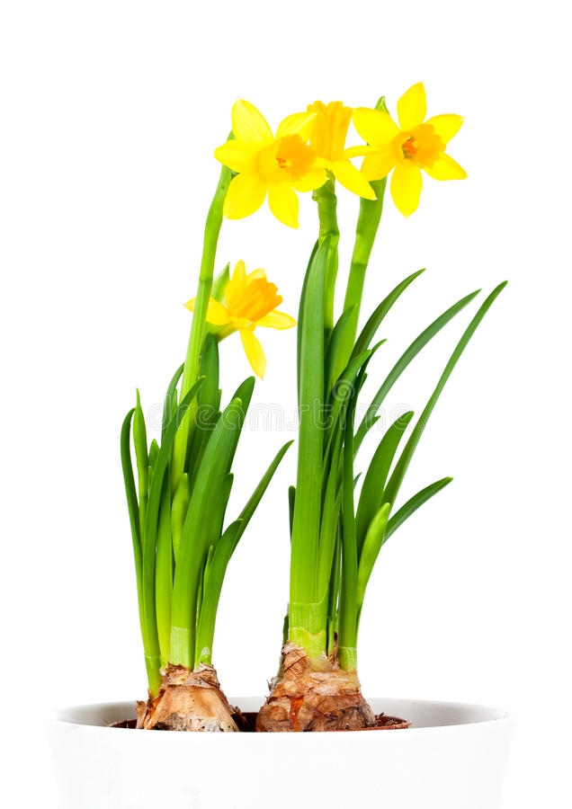 Daffodils (Narcissus) stock photo