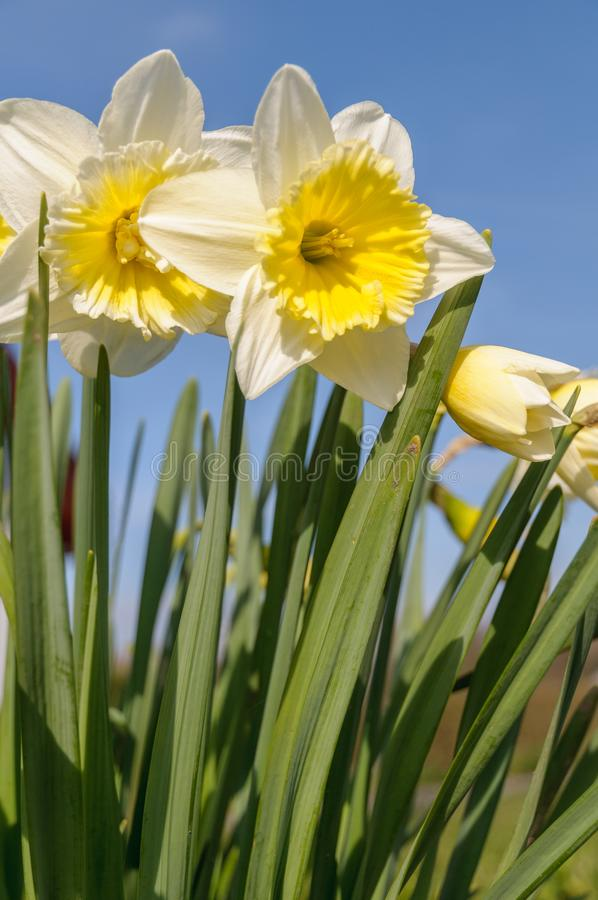 Daffodils narcissus are flowering on a sunny in spring royalty free stock photos