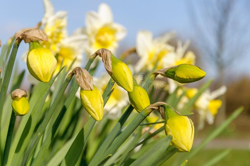 Daffodils narcissus are starting to flower on a sunny in spring royalty free stock image