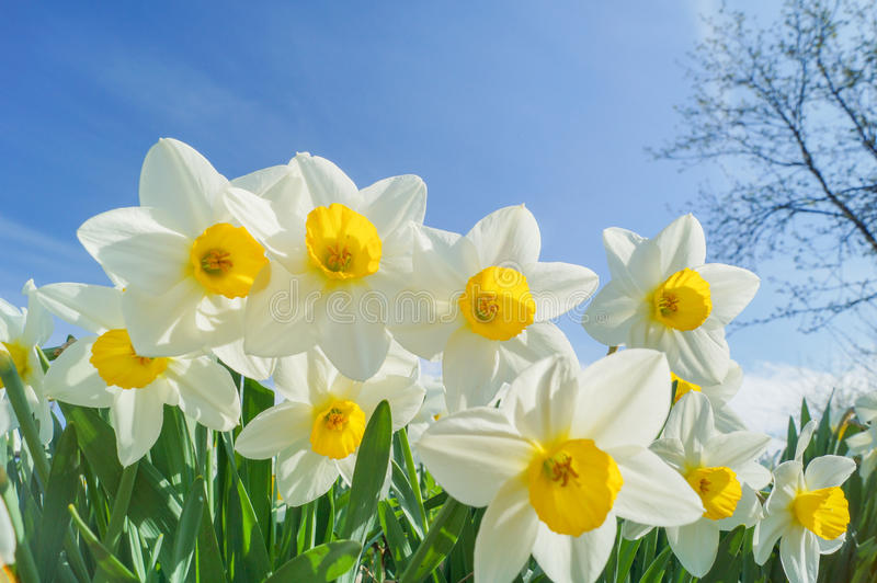 Daffodils on nice sunny background royalty free stock photo