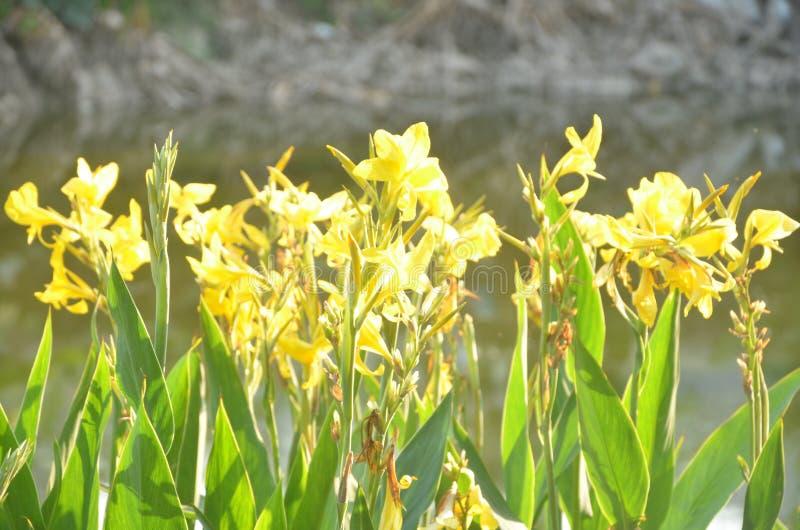 Daffodils no jardim fotos de stock