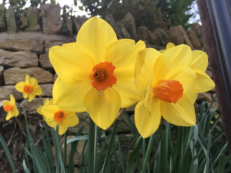 Daffodils. This pair of Daffodils royalty free stock photography